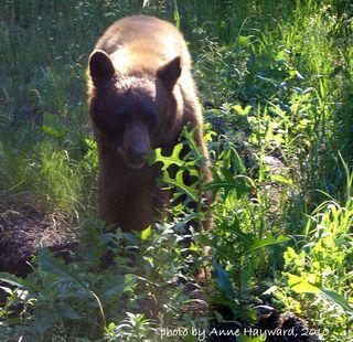 Wetmore Bear June 2010 012