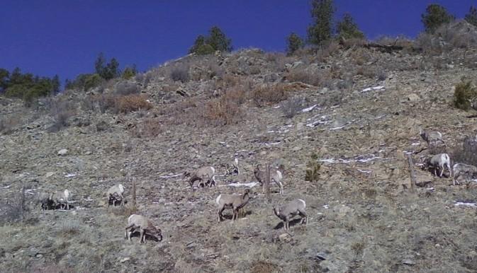 Mountain Sheep 1