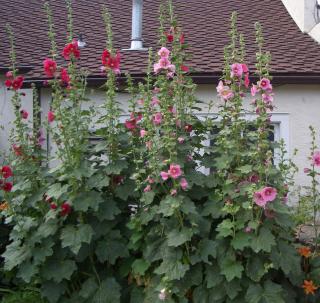 Hollyhocks in bloom cropped