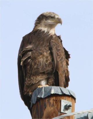Immature Bald Eagle Dave Alexander