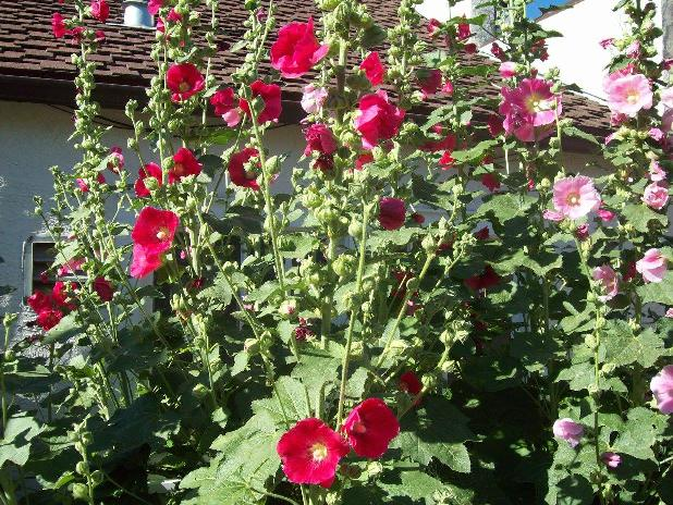 Hollyhocks at post office